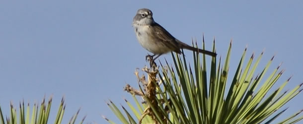 610x250-sagebrush-sparrow-chris-mccreedy