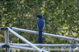 Island Scrub-Jays are bluer and larger than their mainland counterparts