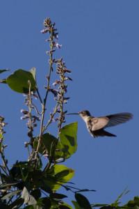 Black-chinned Hummingbird. Photo by Brian Slobe.