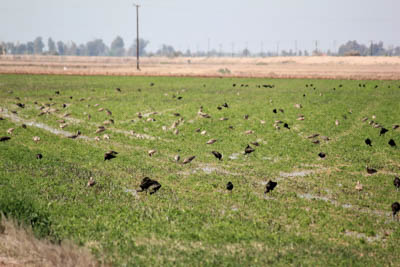 Long-billed Curlew and White-faced Ibis feed in an alfalfa field outside of San Luis Rio Colorado, Sonora, Mexico (photo by Erica Gaeta).